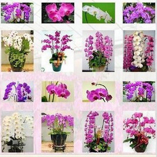 20seeds/bag Butterfly orchid seeds balcony gardening 24 kinds of butterflies when flowering potted orchids Seed (Pink ) 5(China (Mainland))