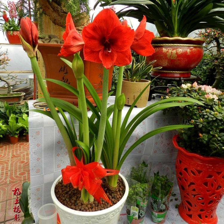 5 pcs rare amaryllis bella domma belladonna lily for Planter des amaryllis