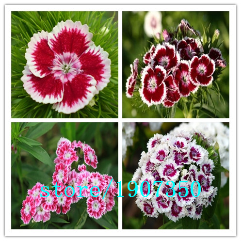 100 MiX Color Dianthus seeds, up to 16 kinds, mix packed, long blossom, easist DIY garden flower(China (Mainland))