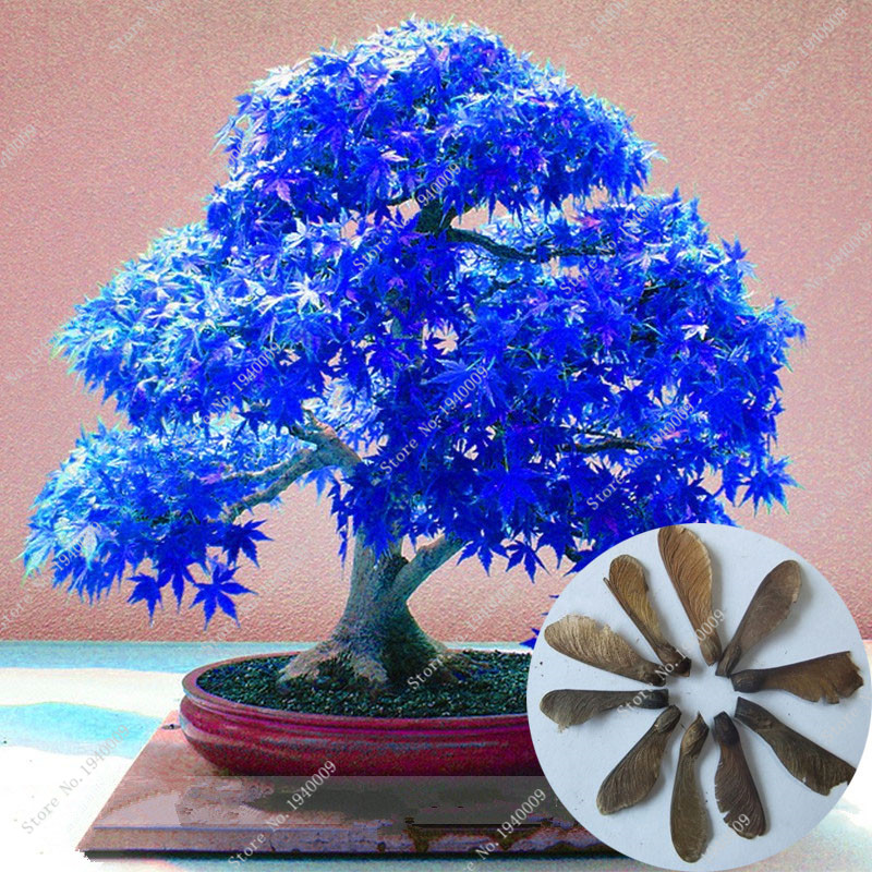 50 Seeds/ Pack Japanese Blue Maple Tree Bonsai Seeds With Hermetic Package * Very Beautiful * Seeds Garden Building(China (Mainland))