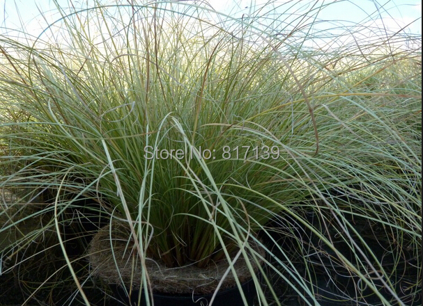 J New Home Garden Plant 5 Seeds Carex comans Amazon Mist Color Grass Seeds Free Shipping(China (Mainland))