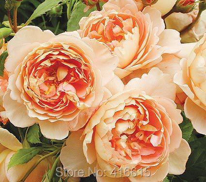 100 Rose Carding Mill Seeds English Rose, David Austin Rose Seeds Flower Bonsai Garden Plants(China (Mainland))