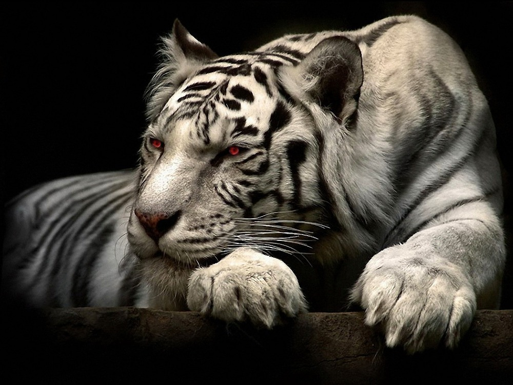 2016 new year best selling vivid big animal picture unframed red eyes tiger oil painting on canvas wall hanging decorative art(China (Mainland))