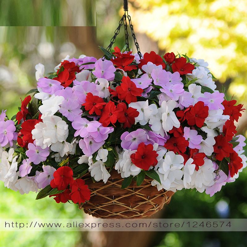 100% true Garden Balsam, colorful impatiens, potted flower seeds-multicolor impatiens-100 PCS(China (Mainland))