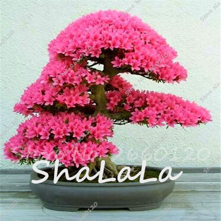 online kaufen gro handel azalee baum pflanzen aus china. Black Bedroom Furniture Sets. Home Design Ideas