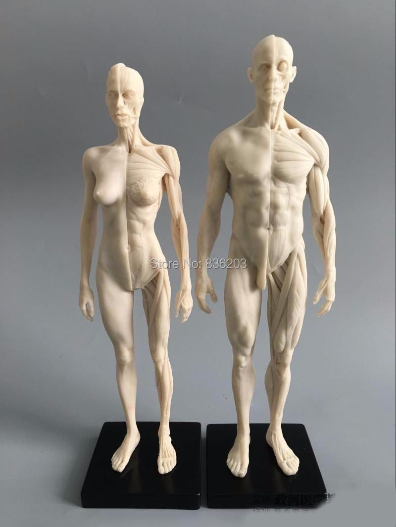Großhandel Großhandels 1: 6 30cm Weiße Menschliche Anatomie ...