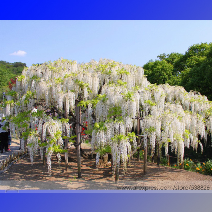 100% True Variety White Wisteria Flower Woody Plant Seeds, Professional Pack, 100 Seeds / Pack, Light Fragrant Flower #NF782(China (Mainland))