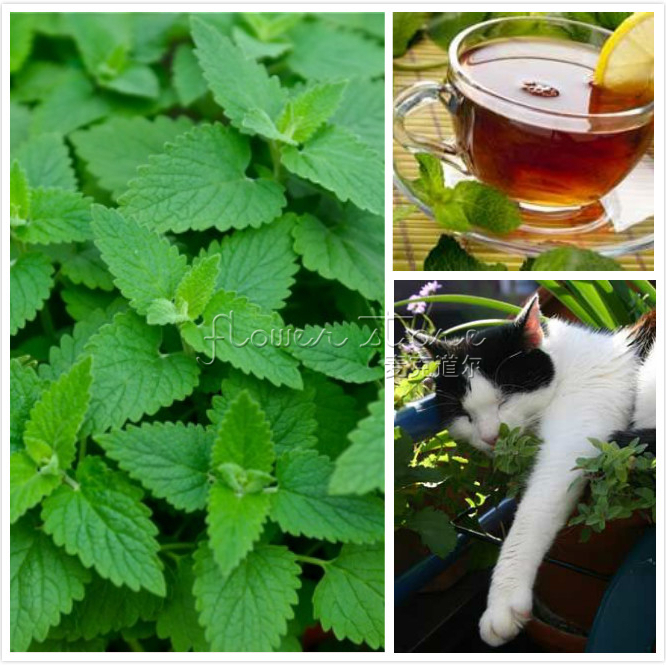 400 Catnip Seeds catmint Perennial Herb Felines Love  Free Shipping(China (Mainland))