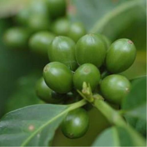 A Large Number Of High Quality To Lose Weight Raw Materials 100 Natural Green Coffee Bean