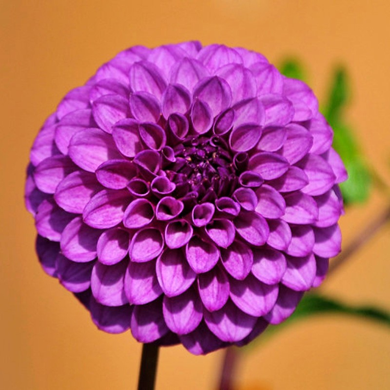 100 pcs Hot Sale Rare Purple Dahlia Seeds Sweet Potatoes Dahlia Flower Seeds Perennial Bonsai Plant