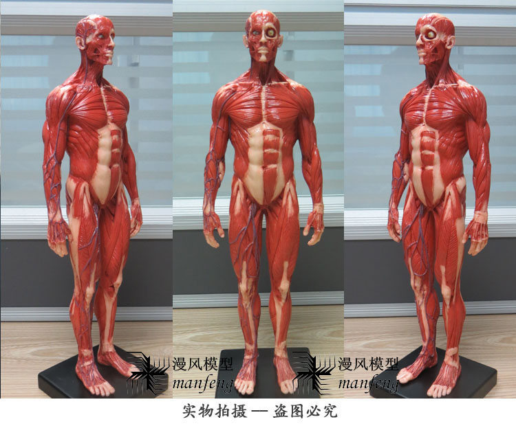 Male 1:6 Anatomy fig v.3 superficial muscle system Human skeleton anatomical Painting model Anatomy Skull Head Artist drawing(China (Mainland))