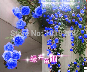 Chinese Flower Seeds , 200 PC blue Chinese rose seeds,Climbing Plants for Home & Garden(China (Mainland))