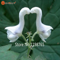 2016 New Arrival Swan Flowers Seeds Chinese Characteristics Rare Flower Seed White Flowers Planting Home Garden