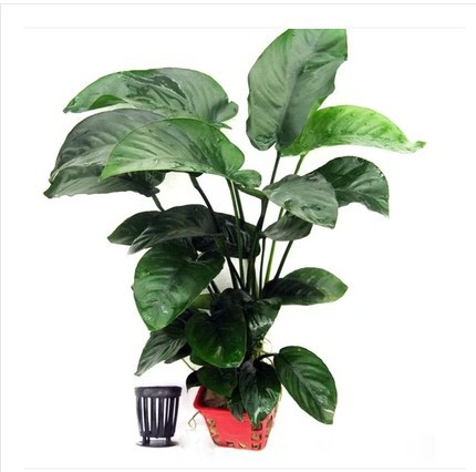 ~~~ Flood Yung Yung grass grass 1 cup large aquarium background landscaping plants landscaping plants(China (Mainland))