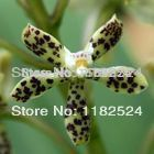 100 SEEDS - Prostechea vespa - Phalaenopsis Flower Seeds Bonsai Flower Plant Butterfly Orchid Seeds(China (Mainland))