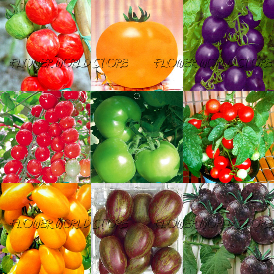 20 KINDS 600+ Tomato seeds different color flavors Purple Yellow Red Green Small Tomato seed Food Bonsai Fruit Vegetable Potted(China (Mainland))