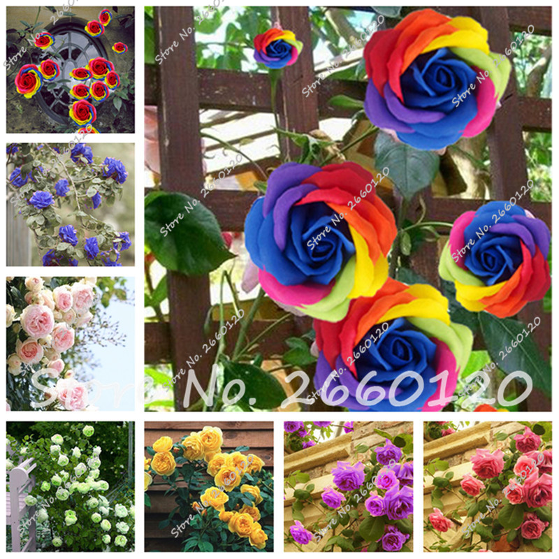 Big Sale 20 PCS Rare Rose Tree Seeds, 24 Colors to Choose Beautiful Flower Seeds Potted ,Balcony & Yard Plant DIY Home Garden(China (Mainland))