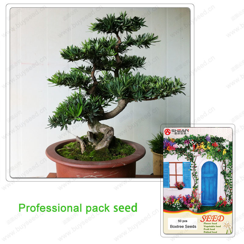 1 Professional Pack / 50 Pcs Boxwood Bonsai Pine Seeds a Good Choice for Families Absorb Formaldehyde Potted Tree(China (Mainland))