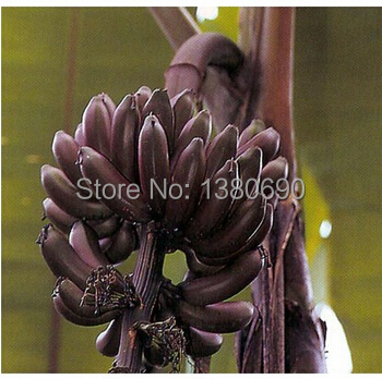 Hot Sale.50 Seeds/Pack.Annual Fruit and Vegetable Seeds Dwarf Banana Collection .DIY Home Garden&Bonsai Plant Seeds.(China (Mainland))