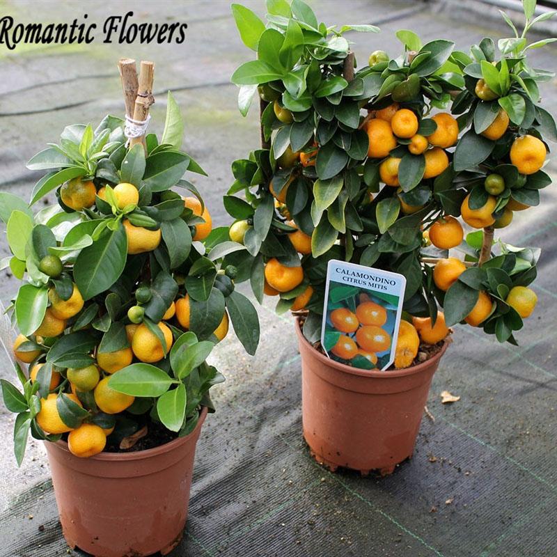 citrus bonsai baum beurteilungen online einkaufen citrus. Black Bedroom Furniture Sets. Home Design Ideas