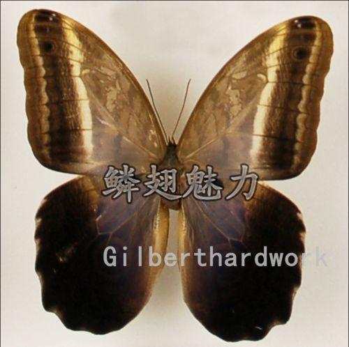 Butterfly specimens Caligo oileus umbratilis Stichel, 1903 NO Expand Wings<br><br>Aliexpress