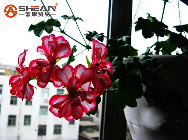 A Package 20 Pieces White Red Edge Geranium Seeds Perennial Flower Seeds Pelargonium Peltatum Flowers for