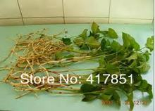 Fishy grass tea Houttuynia cordata health care products