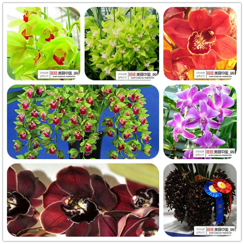 Cymbidium Orchid Colors Color 20 Seeds Pack Orchid