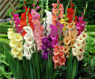 100/bag Different Perennial Gladiolus Flower Seeds, Rare Sword Lily Seeds very beautoful for home garden planting(China (Mainland))