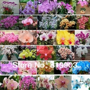 Phalaenopsis seeds multi-choice  100 pcs