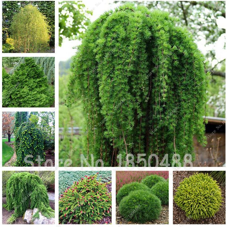 Abete pino alberi acquista a poco prezzo abete pino alberi - Pino nano da giardino ...