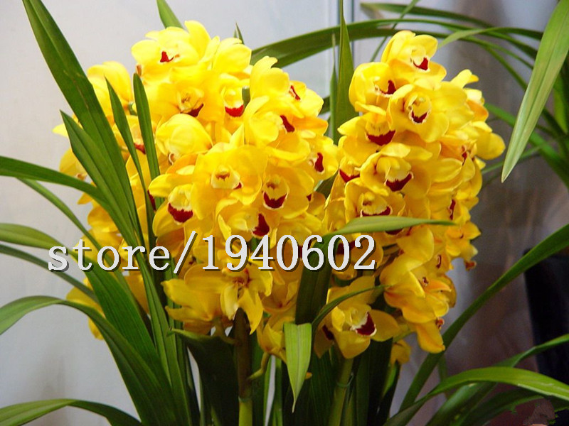 Big sale 100pcs/bag cymbidium orchid,yellow cymbidium,cymbidium orchid plant,bonsai flower seeds,Natural growth,plant for home g(China (Mainland))