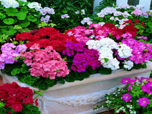 Buy 100pcs Geranium seeds potted balcony planting seasons Pelargonium potted sprouting 95% mixed color flower seeds +Free Rose Gift for $1.03 in AliExpress store