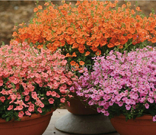 Home Garden Plant 100 Seed pink Diascia Barberae APRICOT QUEEN / PERENNIAL / CONTAINERS, GARDEN OR HANGING BASKETS Free Shipping(China (Mainland))