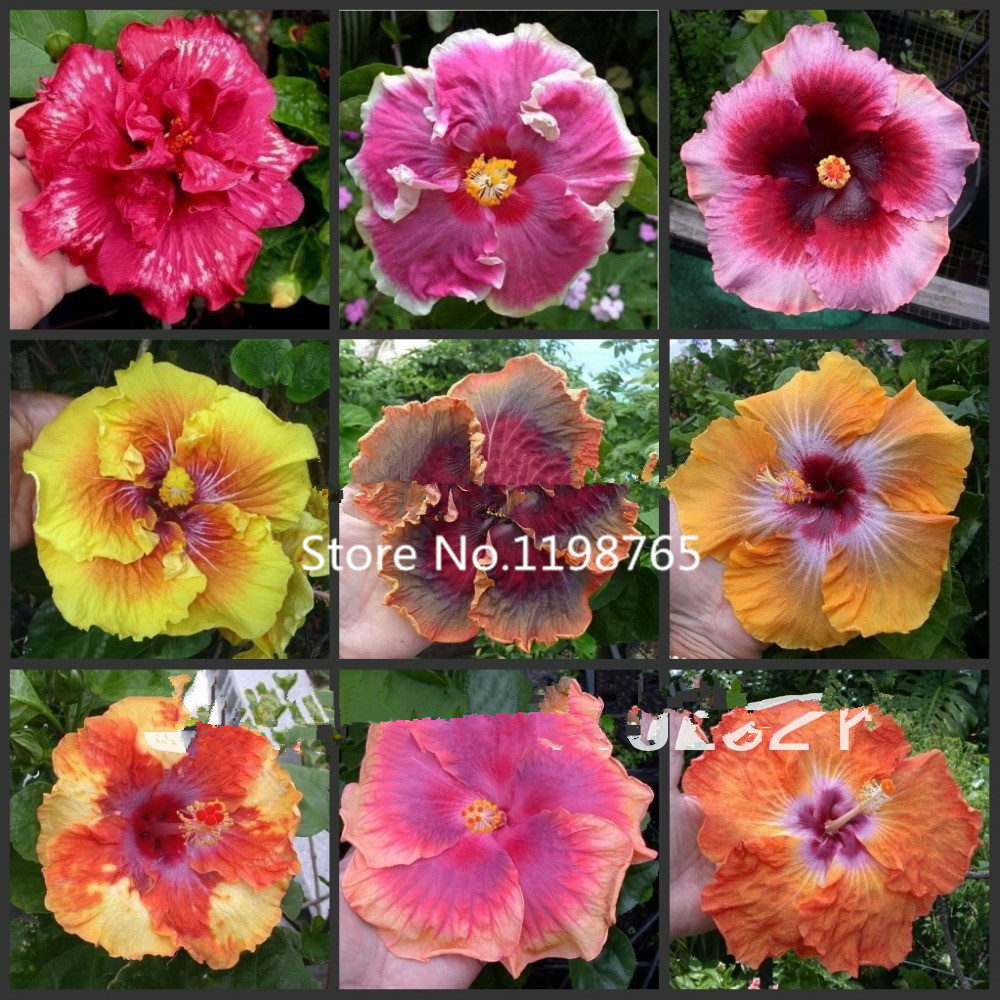 2016 New Arrival 100 SEEDS - MIX Rare Tropical Hibiscus Seeds flower plant seeds(China (Mainland))