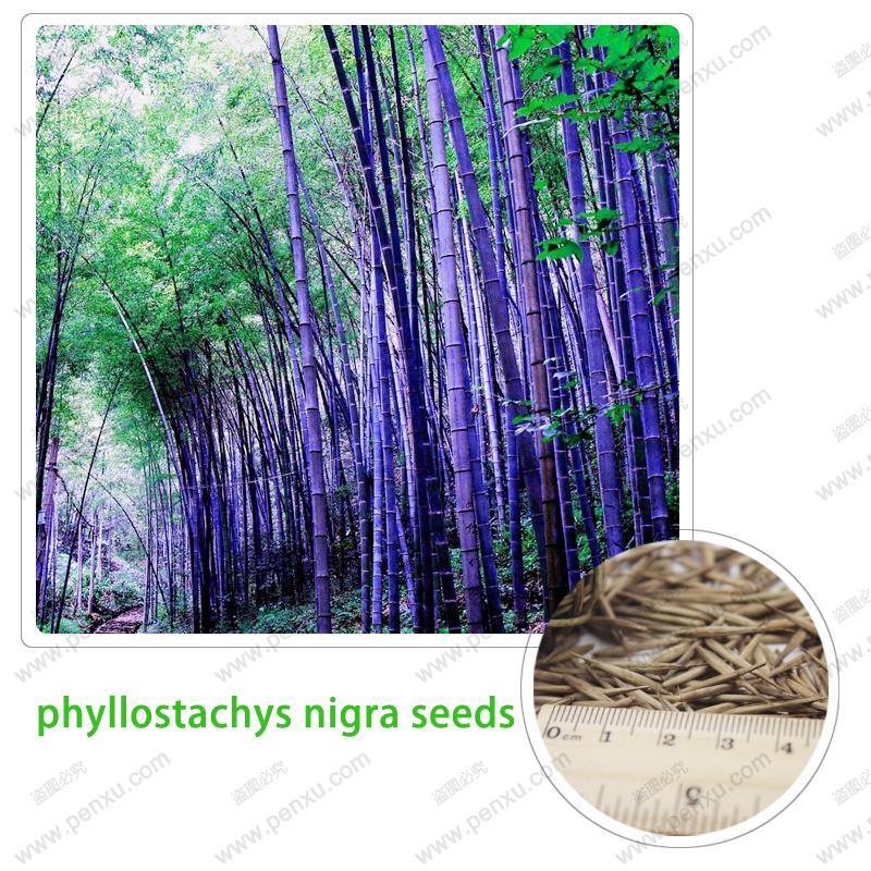 rare purple bamboo seeds beautiful bonsai bamboo seeds which is really the seed 100 PCS / bag(China (Mainland))