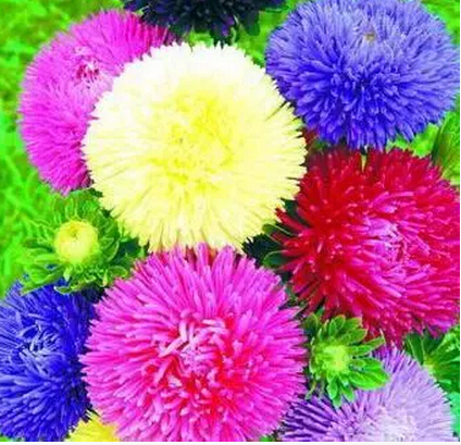 Golf China aster chrysanthemum Flower seeds, (50 Seeds/lot) ,Bonsai Seeds,Strong ability to reproduce(China (Mainland))