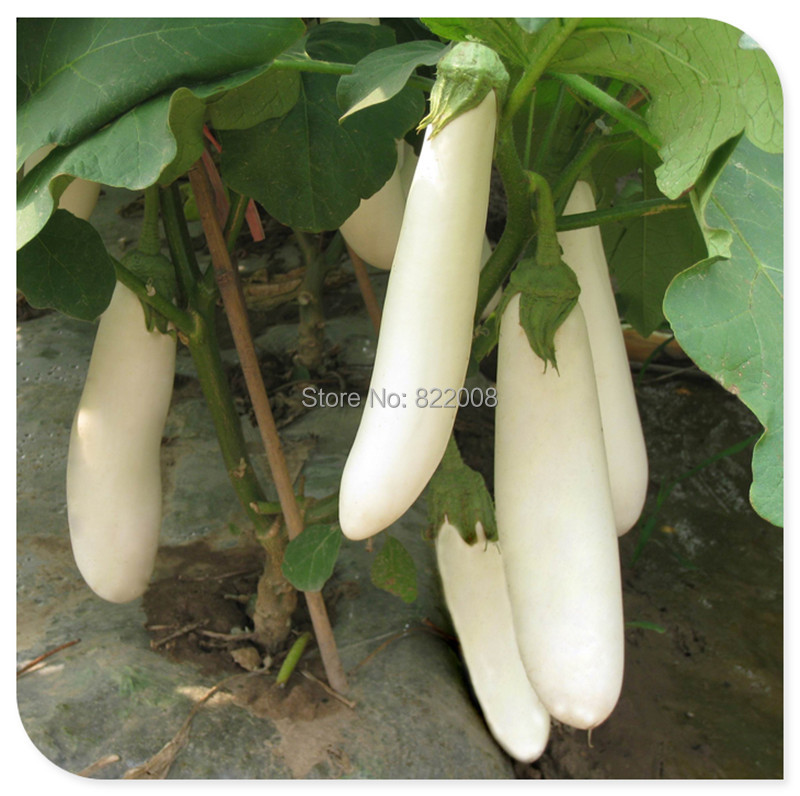 60PCS White eggplant Seeds Solanaceous seed Balcony Garden Vegetables Healthy organic products(China (Mainland))