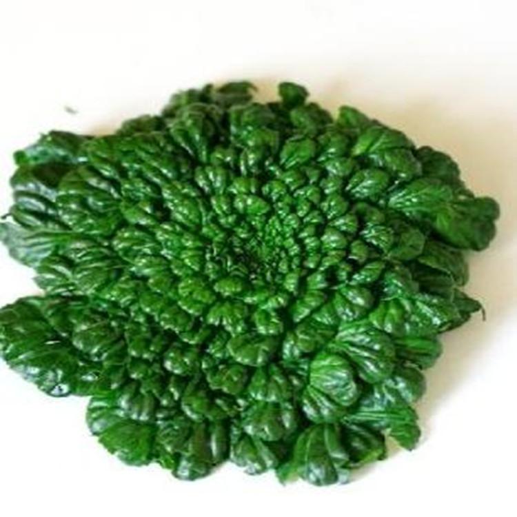 40 Wuta-tsai Seeds bright-colored verdant annual vegetable seeds diy home garden Free Shipping C118(China (Mainland))