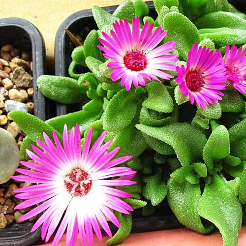 Mesembryanthemum Seed 30 Seeds Of Each Pack Livingstone Daisy Flower Garden Seeds Hot A213(China (Mainland))