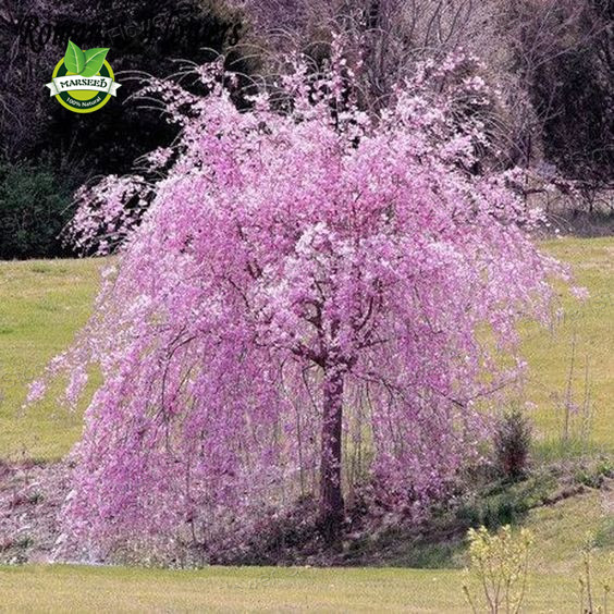 20 pink fountain weeping cherry tree Seeds DIY Home Garden Dwarf Tree Seeds Perennial Free Shipping(China (Mainland))