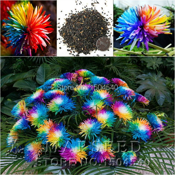 Free Shipping 20 Rainbow Chrysanthemum Flower Seeds rare color new arrival DIY Home Garden flower plant(China (Mainland))
