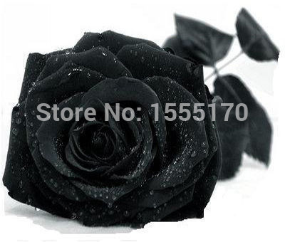 Гаджет  Free Shipping 100 Seeds China Rare Black Rose Flower None Дом и Сад