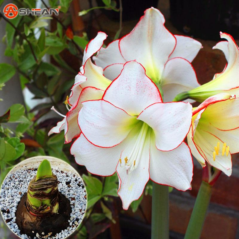 Blanc amaryllis ampoules achetez des lots petit prix for Amaryllis ne fleurit pas
