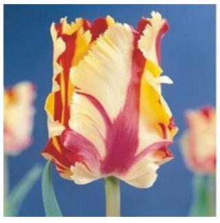 Tulip seeds, potted flowering plants, indoor potted plants aerobics, tulip - 50pcs seeds(China (Mainland))