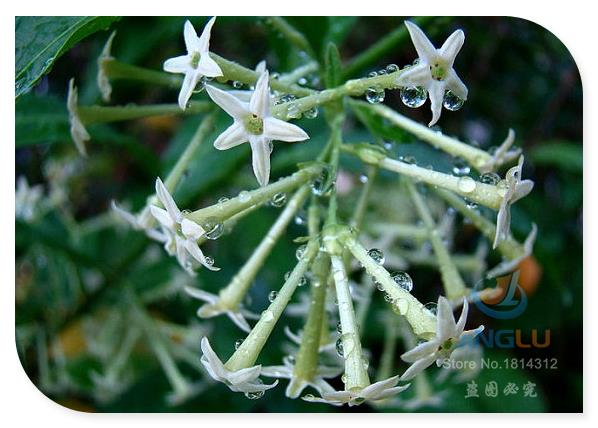 Night blooming Jasmine, Cestrum nocturnum 50 seeds, fragrant shrub, delicate blooms, snow white berries, filtered sun(China (Mainland))