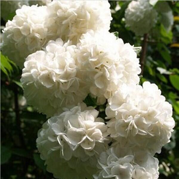 Free shipping 50pcs white seeds Flower seeds Hydrangea seeds Viburnum macrocephalum seed(China (Mainland))