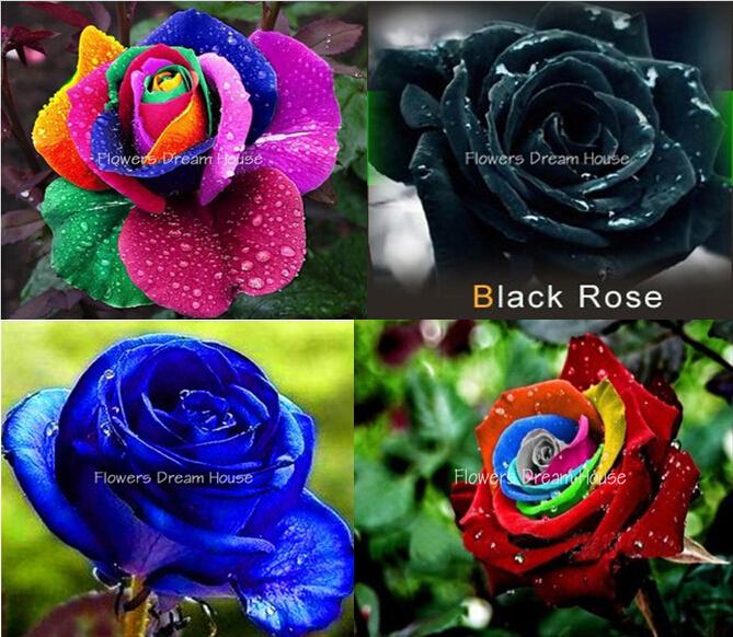 Bonsai flower seeds 200pcs Rainbow Rose seeds Blue Pink White Yellow Red Green Purple Black Roses seeds semillas de rosas(China (Mainland))