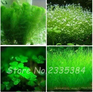 1000 Pcs/pack Hydroponics Flower Plants Fish Tank Aquarium Decoration Grass Seed Aquarium Plants Seeds Best Indoor Bonsai Plant(China (Mainland))