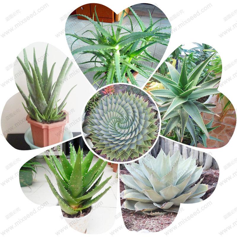 Compra plantas suculentas y ollas online al por mayor de for Suculentas por mayor